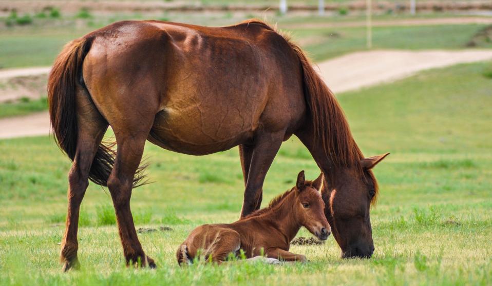gestione laminite pascolo cavallo