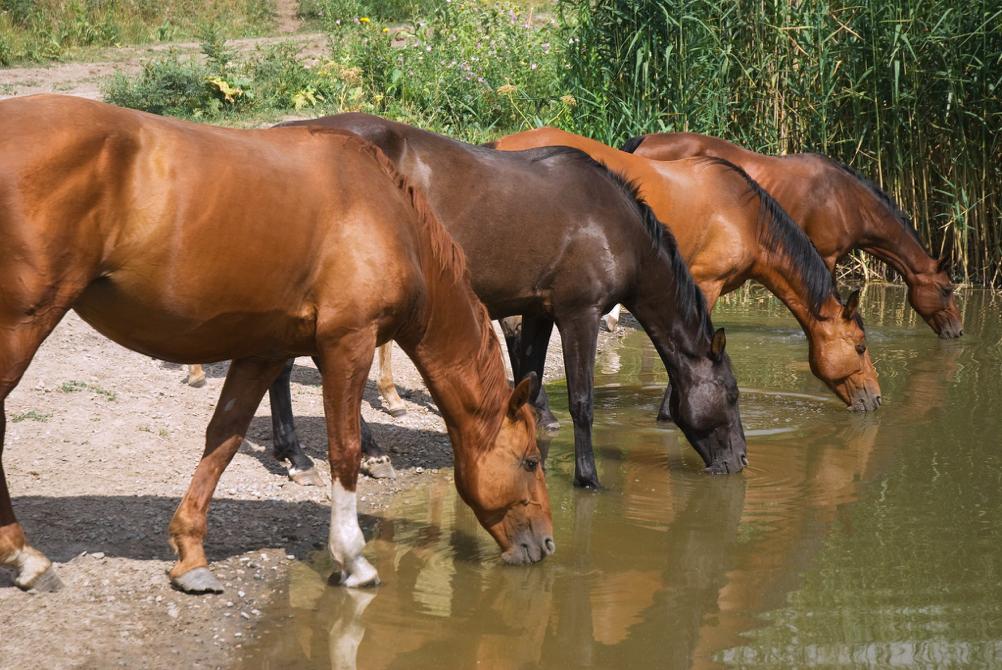 cavallo sano felice idratato invernale