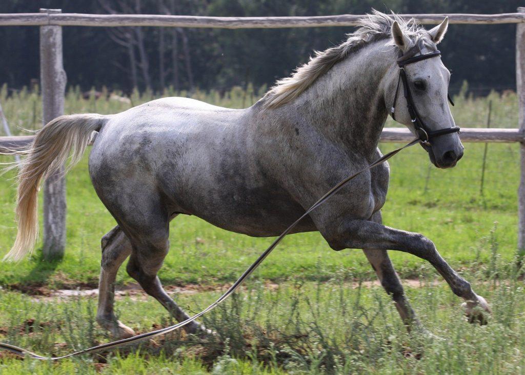 manto cavalli definizione caratteristiche